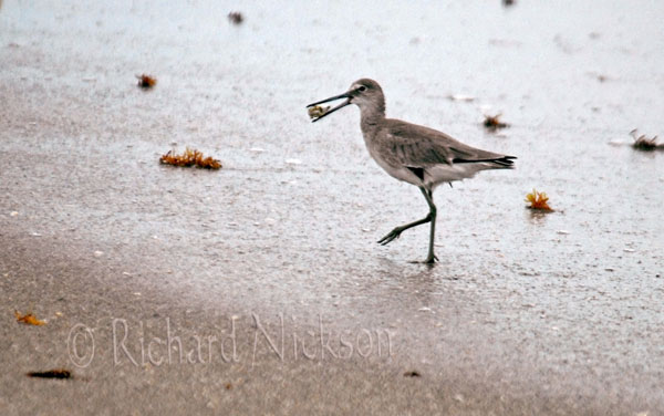 willet with sand flea