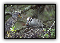 yellow crowned night heron with chick in nest